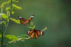 Farfalle in fiori del giardino fotografia stock