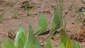 Farfalle gialle sullo zolfo a terra stock footage