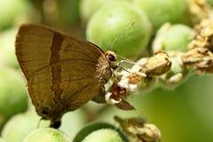 Farfalle Linea-blu dalla coda corta Fotografia Stock Libera da Diritti
