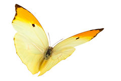 Farfalle (Menippe di Anteos) Fotografia Stock Libera da Diritti