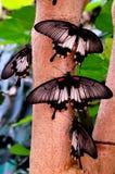Farfalle mormoniche fotografia stock