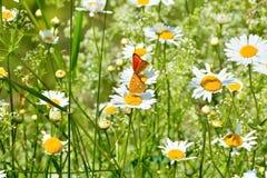 Farfalle nel campo delle margherite. Fotografie Stock