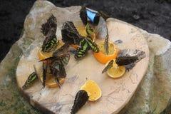 Farfalle nel giardino delle farfalle Fotografia Stock Libera da Diritti