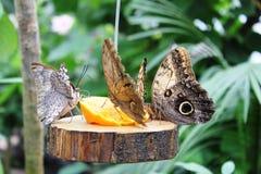 Farfalle nel giardino delle farfalle Immagine Stock