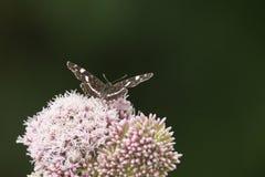 Farfalle nel legno Fotografie Stock