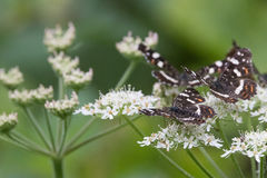 Farfalle nel legno Fotografia Stock Libera da Diritti