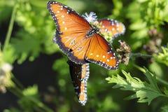 Farfalle nel selvaggio. immagini stock