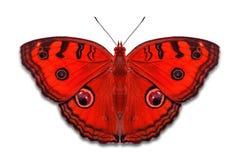 Farfalle operate della pansé del pavone di colore Fotografia Stock