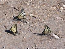 Farfalle scarse sulla terra, primo piano di coda di rondine Fotografia Stock