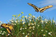 Farfalle sopra chamomille immagini stock