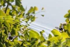Farfalle su acqua Fotografie Stock Libere da Diritti