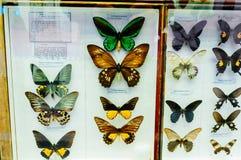 Farfalle su esposizione in un caso di vetro Fotografie Stock