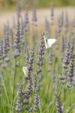 Farfalle su lavanda Immagini Stock Libere da Diritti