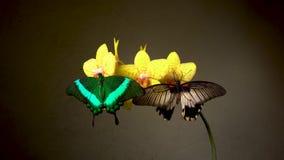 Farfalle su un fiore video d archivio