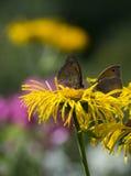 Farfalle su un girasole Fotografie Stock Libere da Diritti
