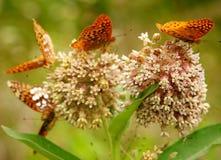 Farfalle sui fiori Immagini Stock Libere da Diritti