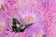 Farfalle sui fiori viola dell'aster Fotografie Stock Libere da Diritti