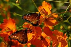 Farfalle sui papaveri Fotografia Stock Libera da Diritti