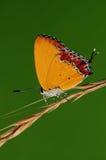 Farfalla sul ramoscello, ila di Heliophorus Fotografie Stock Libere da Diritti