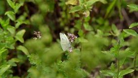Farfalle sull'erba stock footage