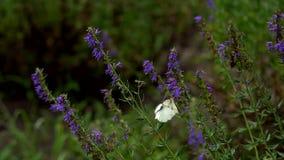 Farfalle sull'erba archivi video