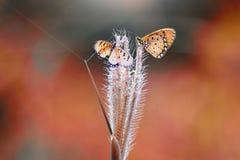 Farfalle, farfalle sulle farfalle dei ramoscelli, farfalle sui ramoscelli immagine stock