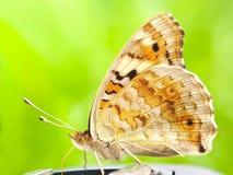 farfalle sulle foglie con un fondo verde fotografia stock