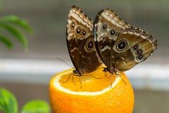 Farfalle tropicali fotografie stock