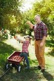 Farfar med sondottern med Apple i den Apple fruktträdgården Royaltyfri Foto