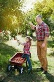 Farfar med sondottern med Apple i den Apple fruktträdgården Fotografering för Bildbyråer