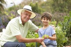 Farfar och sonson som arbetar i grönsakträdgård Arkivfoton
