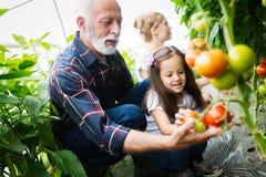 Farfar som v?xer organiska gr?nsaker med barnbarn och familjen p? lantg?rden arkivbild