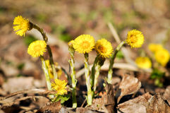 Farfara ανθίσματος Tussilago, που είναι γνωστό συνήθως ως coltsfoot στο δάσος Στοκ εικόνες με δικαίωμα ελεύθερης χρήσης