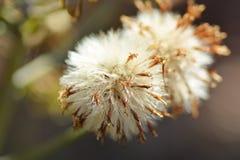 Farfugium japonicum seeds. Wild grass /butterbur/farfugium japonicum seeds Royalty Free Stock Photography