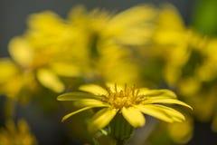Farfugium japonicum. Yellow farfugium japonicum flower in the autumn garden of taiwan Royalty Free Stock Image