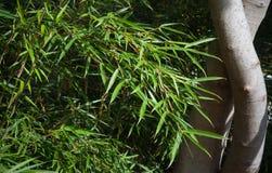 Fargesia robusta ` Campbell ` Stock Afbeeldingen