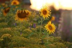 Farinha amarela Fotografia de Stock