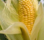 Farinha de milho amarela, milho na haste no campo de milho, campo do close up de milho orgânico Fotografia de Stock Royalty Free