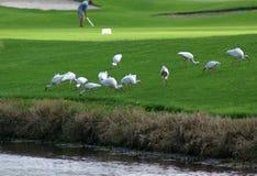 farled ibis royaltyfria bilder