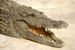 farlig alligator Arkivbild