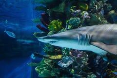 Farlig dödlig haj i akvarium Arkivbilder