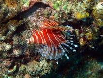 farlig fiskscorpionfish tropiska vietnam Royaltyfri Fotografi