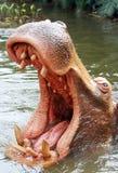farlig flodhäst arkivfoton