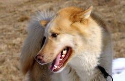 farlig hund Arkivfoton