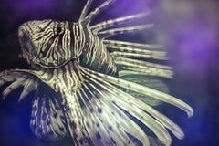 Farlig illustration som göras med en digital minnestavlaskorpionfisk, Arkivbild
