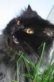 farlig katt Arkivbilder