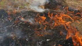 Farlig lös brand i natur, bränner torrt gräs Bränt svart gräs i skoggläntan arkivfilmer