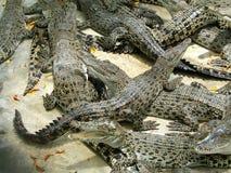 farliga alligatorer arkivbild
