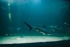 Farliga hajar i en stor fiskbehållare arkivfoto