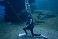 Farliga hajar och fiskar med dykaren i ett akvarium Arkivbilder